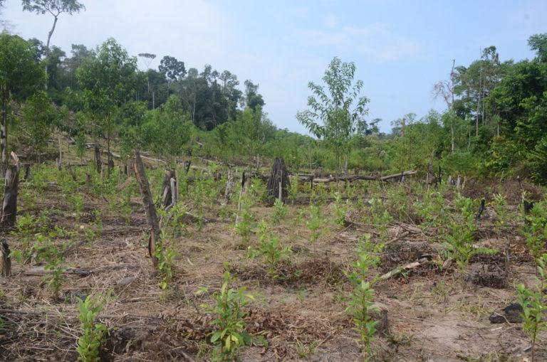 Cultivos de coca en la comunidad nativa de Puerto Nuevo. Foto: Yvette Sierra Praeli.